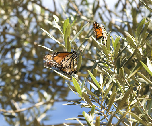 Monarch butterflies | Sammy Photo