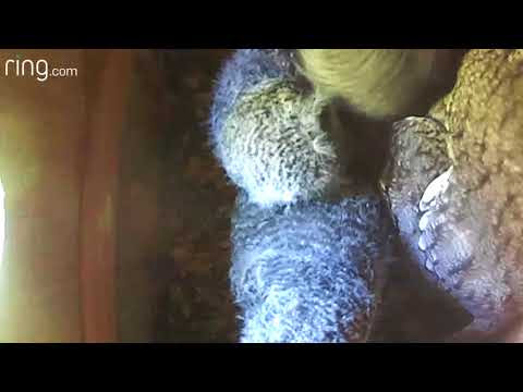 Owlets at 20 and 18 Days