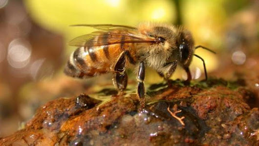 MO Dept. of Conservation: Plant native flowers to bring back bees