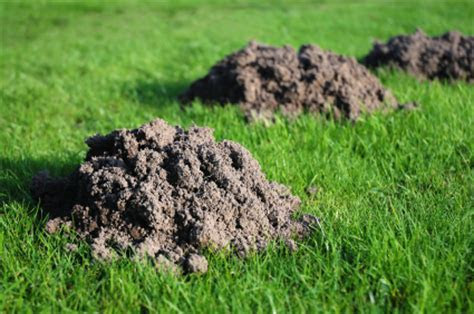 Pest Control Santa Barbara, We get rid of gophers & moles: Rodent Control Experts   So Cal Pest