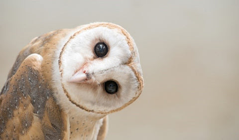 Barn Owl Symbolism And Spiritual Meaning Pelletcom