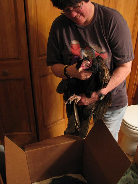 Turkey Vulture rescue