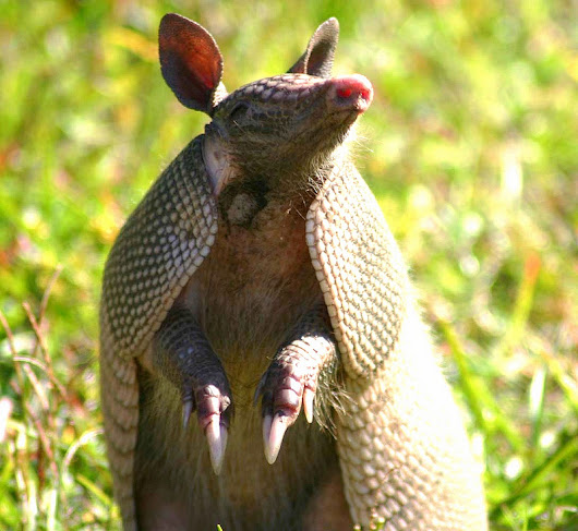 Armadillo - Anytime Wildlife Removal