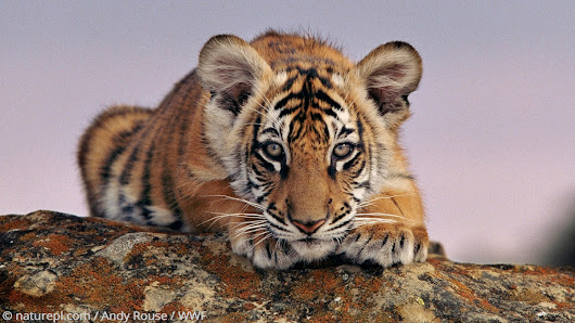 Sign On to Help Protect Tigers