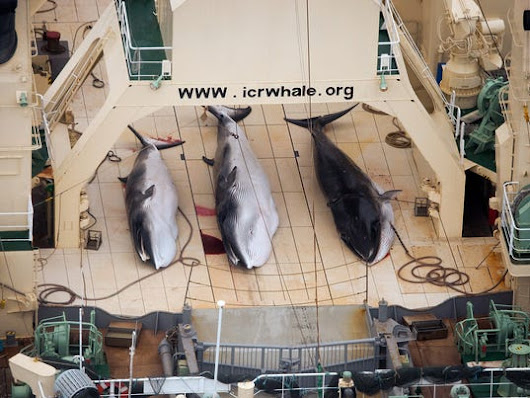 Japan ordered to halt whaling in Antarctic
