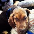 Bo's Battle - Parvovirus & Tumor Rescue Puppy