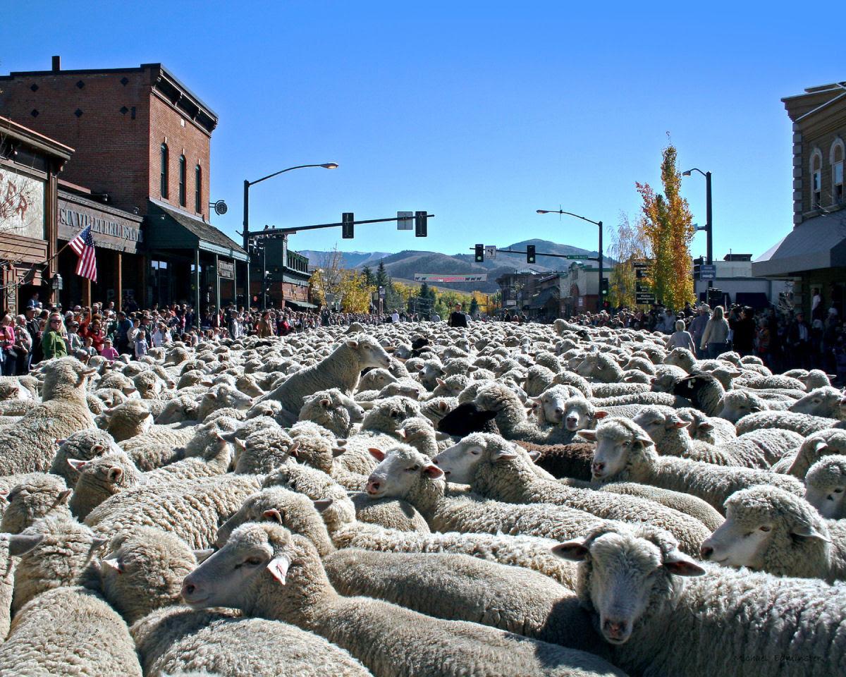 Conheça o Festival de Arrasto de Ovelhas 02