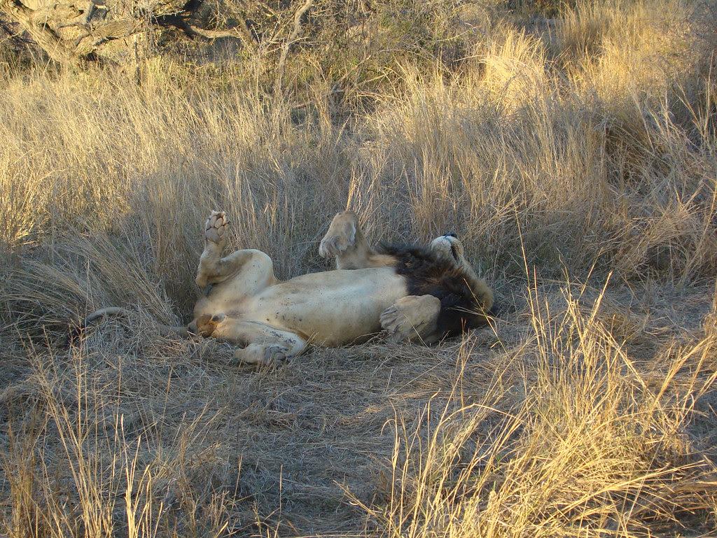DSC08437 Lion sleeping