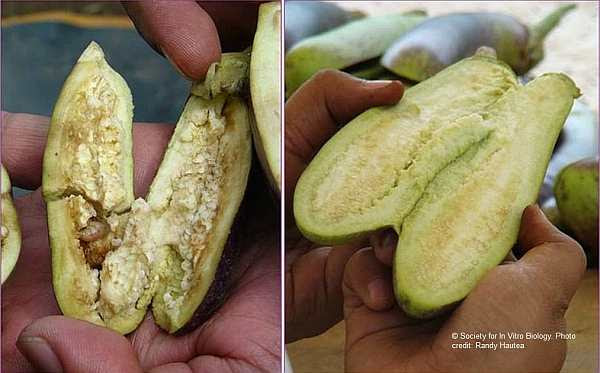 Eggplant on the right infested with pest compelling farmers to spray up to 80X per season, Bt eggplant (left) is clean