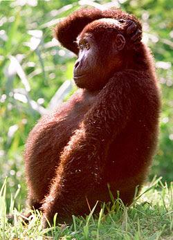 pregnant_monkey7