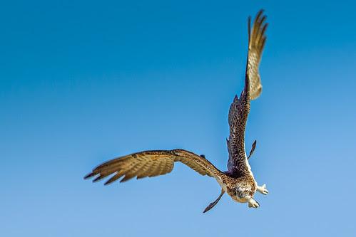 Osprey Turning In