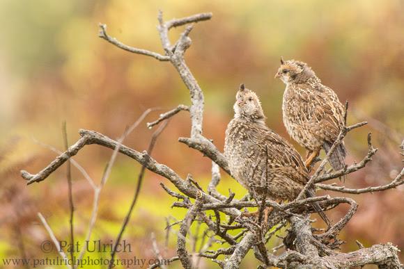 California quail fledgling calling Chi-Ca-Go