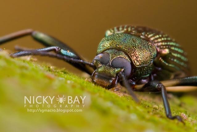 Darkling Beetle (Tenebrionidae) - DSC_8973