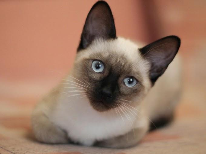 El gato siamés, curiosidades de la raza