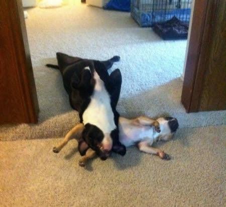 http://thebarkpost.com/30-dogs-awkwardly-sleeping/funny-sleeping-animals-dogs-09/