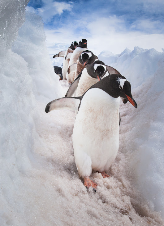 March of the Penguins - Art Wolfe Store