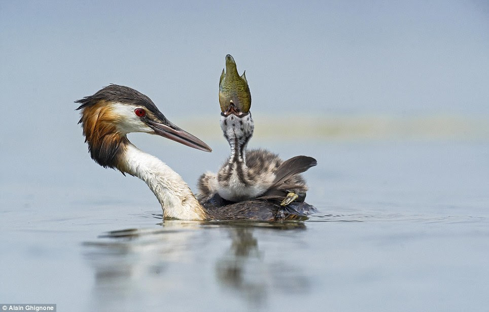 Hitching a lift:  After successfully hatching, this Great Crested Grebe chick relaxes on the back of the female in Viverone Lake in Italy. The male will provide food for the young, starting with small morsels such as dragonflies and small fish. In this case, the sunfishlet offered is a little on the big side for the chick but he gives it a valiant try