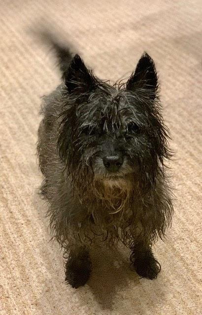 Poppy – 10 year old female Cairn Terrier