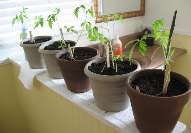 Indoor vegetable gardening_garden vegetable seeds.