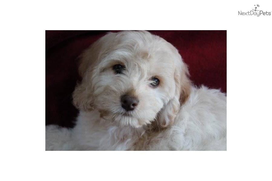 Cockapoo puppy for sale near Boston, Massachusetts ...