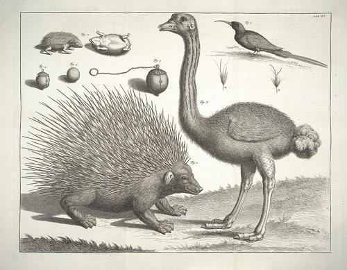 wunderkammer: ostrich & porcupine