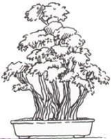 Kabudachi Bonsai
