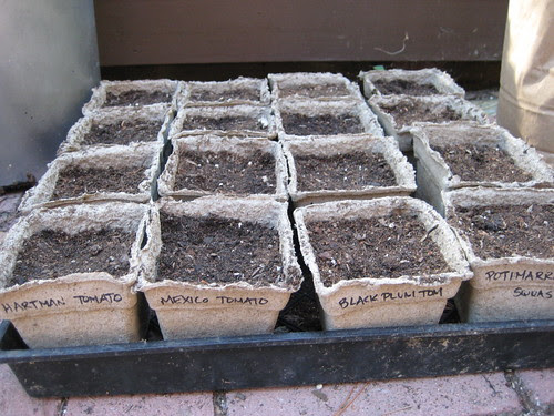 tomato seeds planted