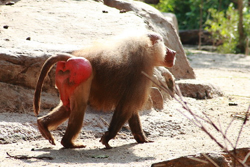 red bum monkey