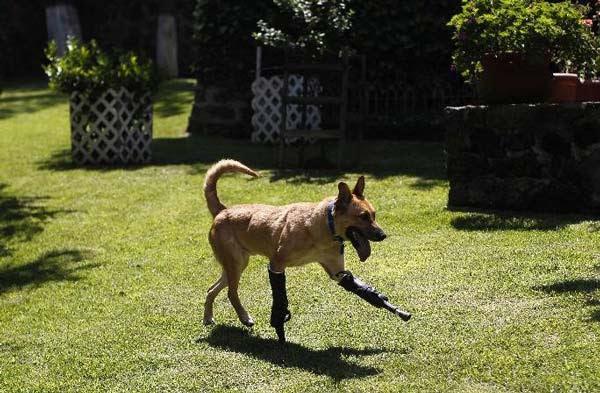 perierga.gr - Σκύλος τρέχει ξανά με προσθετικά πόδια!