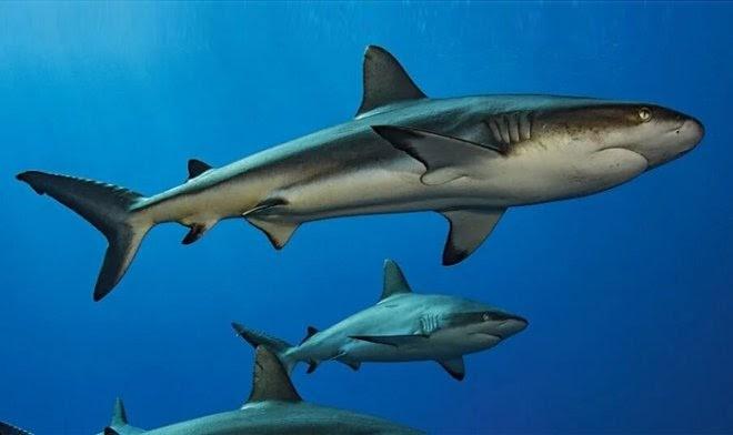 Ученые выяснили, как отдыхают акулы