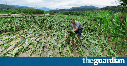 Maize, rice, wheat: alarm at rising climate risk to vital crops | Environment | The Guardian