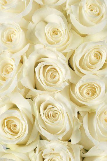 White Akito Roses
