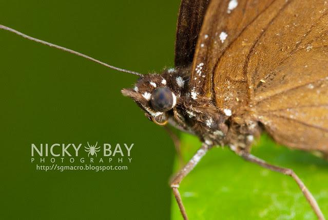 Malayan Eggfly? (Hypolimnas anomala ) - DSC_6431