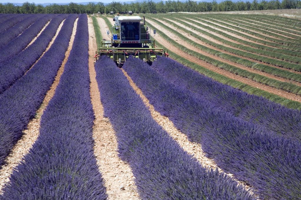 Hipnóticas fotos da colheita dos campos de lavanda 09