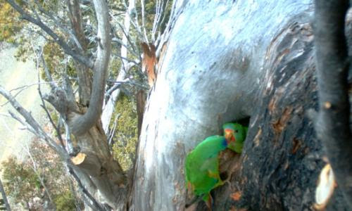 Tasmanian government ignored expert advice on logging threat to swift parrots