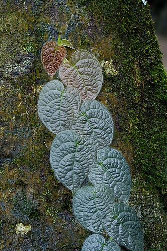 creeper climbing fig, ficus sp. IMG_9663b copy