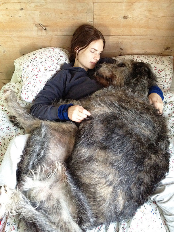 7. Irish Wolfhound loves to sleep in a bed the size of the dog