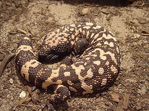 Gila monster (Heloderma suspectum) at the Amer...
