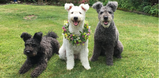 There's Officially a New Dog Breed and It's Absolutely Adorable