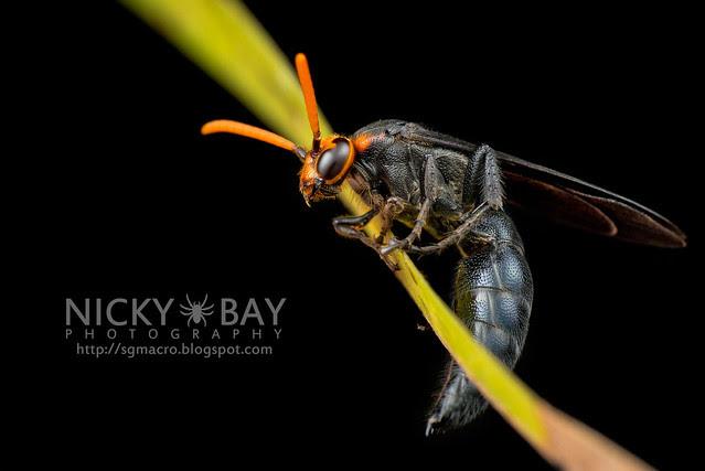 Scoliid Wasp (Scoliidae) - DSC_6610
