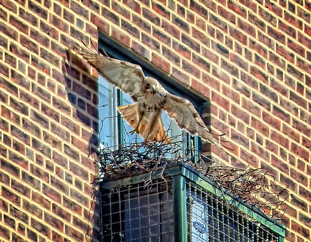 Adult red tail leaving the Christodora nest site
