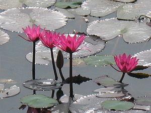 English: Lotus in a public garden/park in Beng...