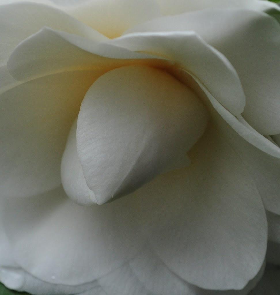 Awakening Camellia