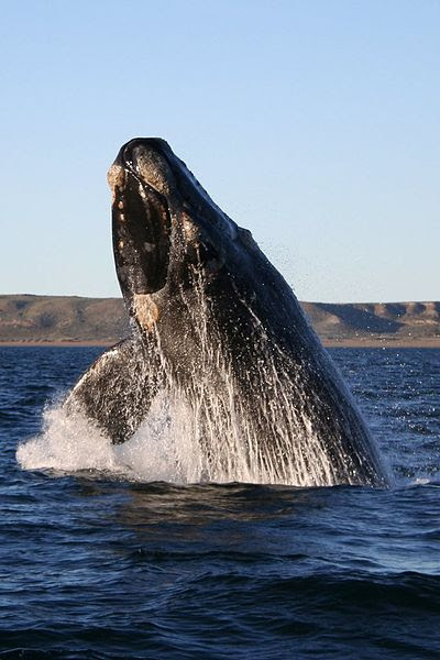 File:Southern right whale.jpg