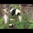 Panda Cub Makes Public Debut, Nibbles Treats & Cuddles His Mom
