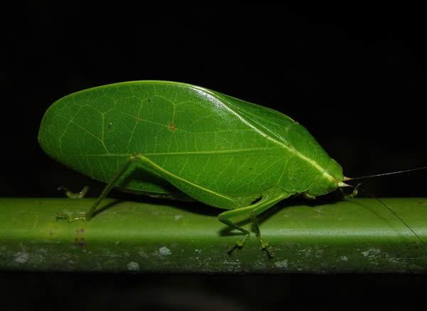False Leaf Katydid, BCI, Panama