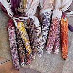 Rainbow Indian Corn