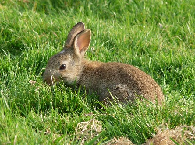 24216 - Rabbit, Beer Head