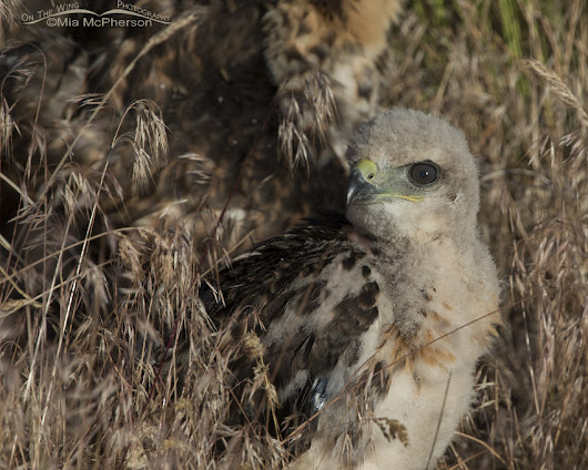 Update On The Three Red-tailed Hawk Chicks Whose Nest Was Destroyed By The Wind