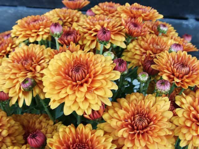 Chrysanthemums How To Grow And Care For Chrysanthemum Plants